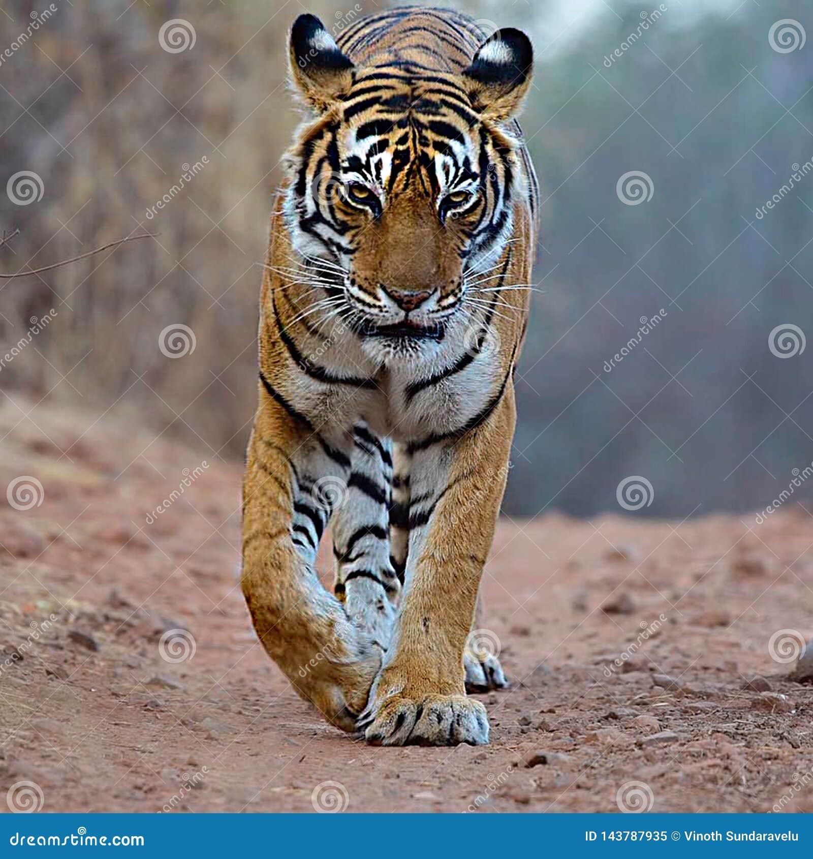 O tigre de Bengal é uma população de tigris tigris do Panthera no subcontinente indiano