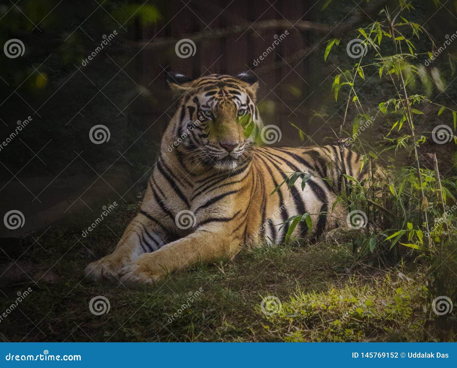 O tigre de Bengal real