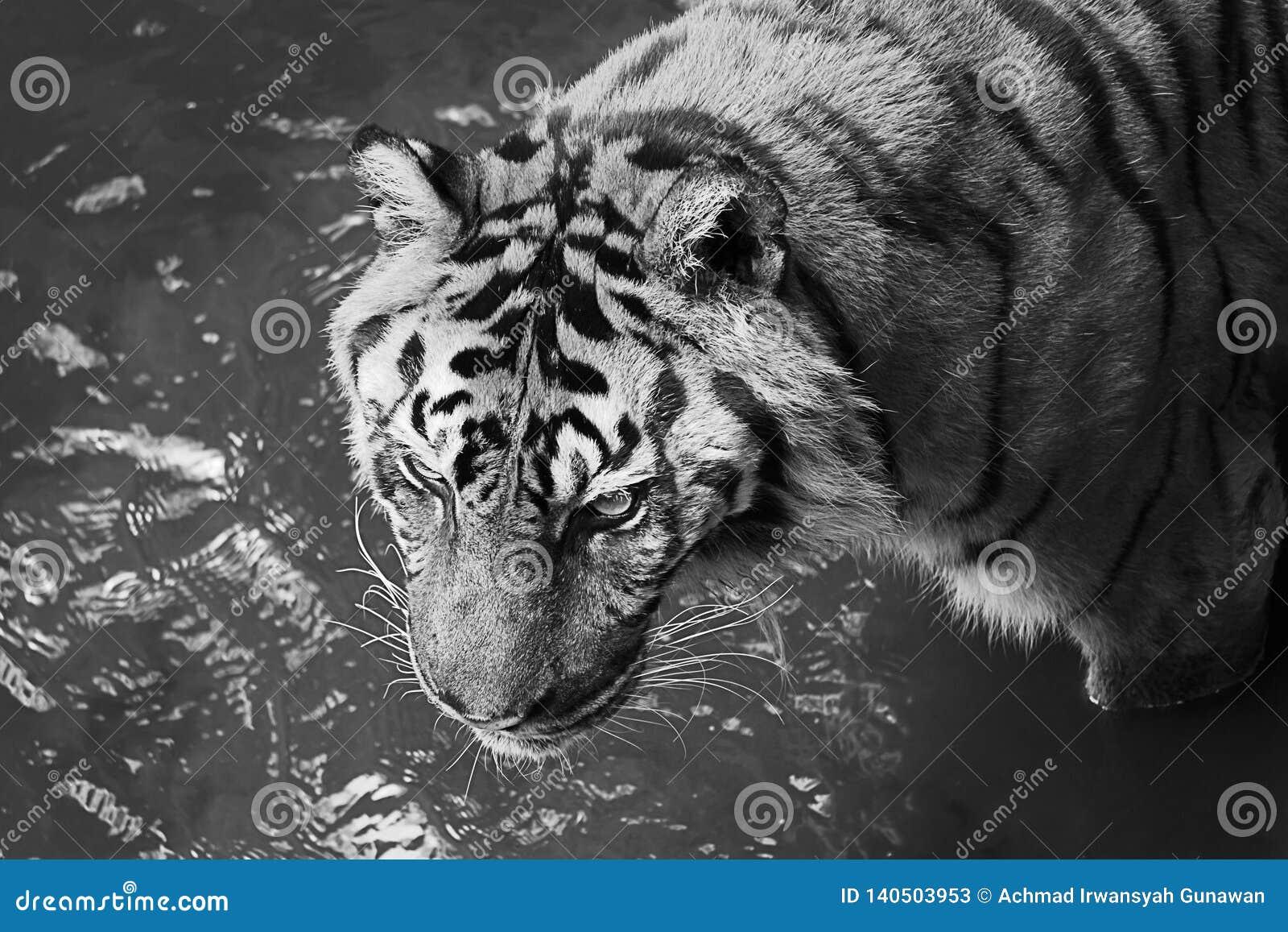 O tigre embebe na associação para refrigerar para baixo o corpo
