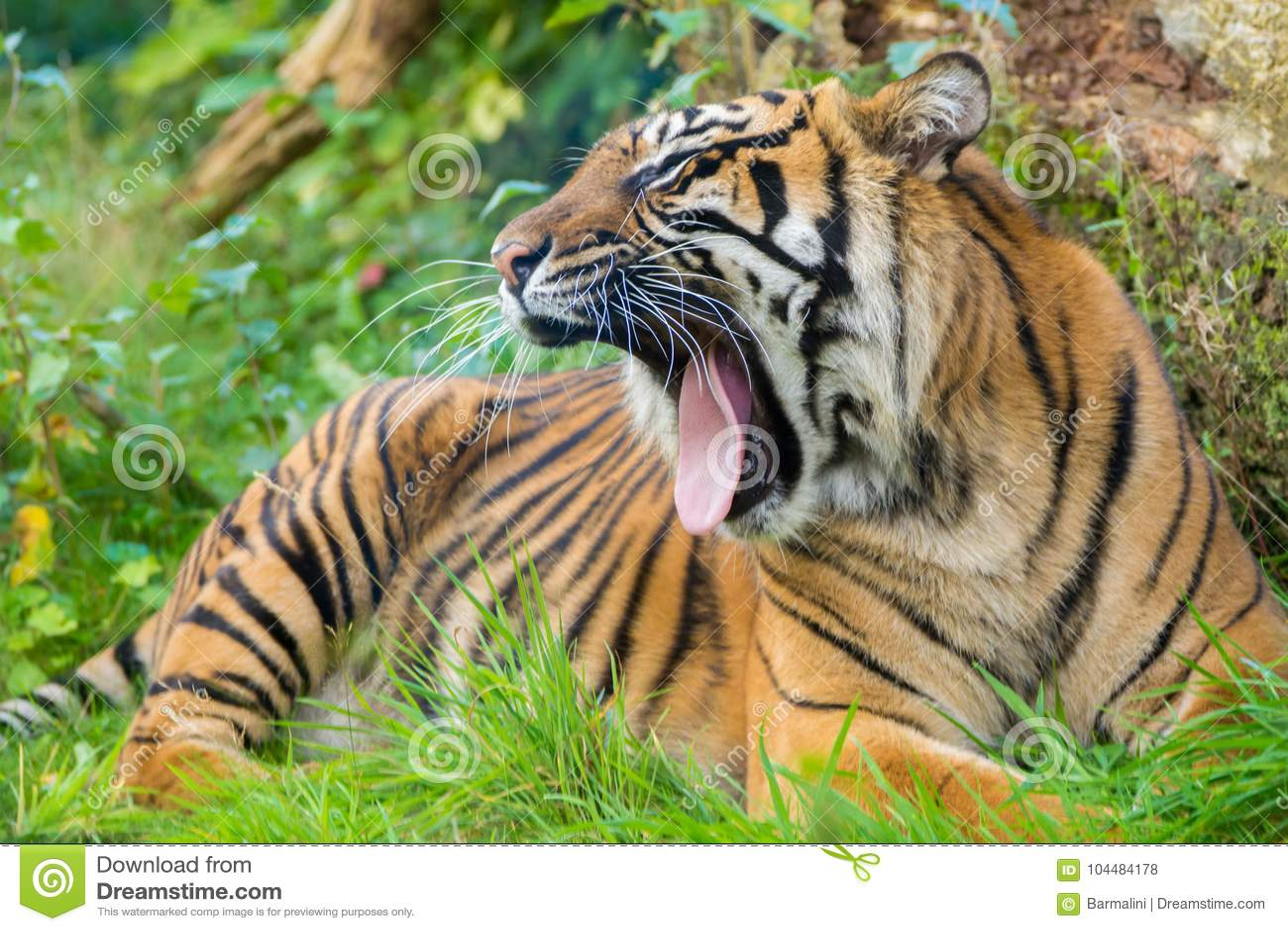 O tigre (Panthera tigris) é a espécie a maior do gato, a maioria de recogni