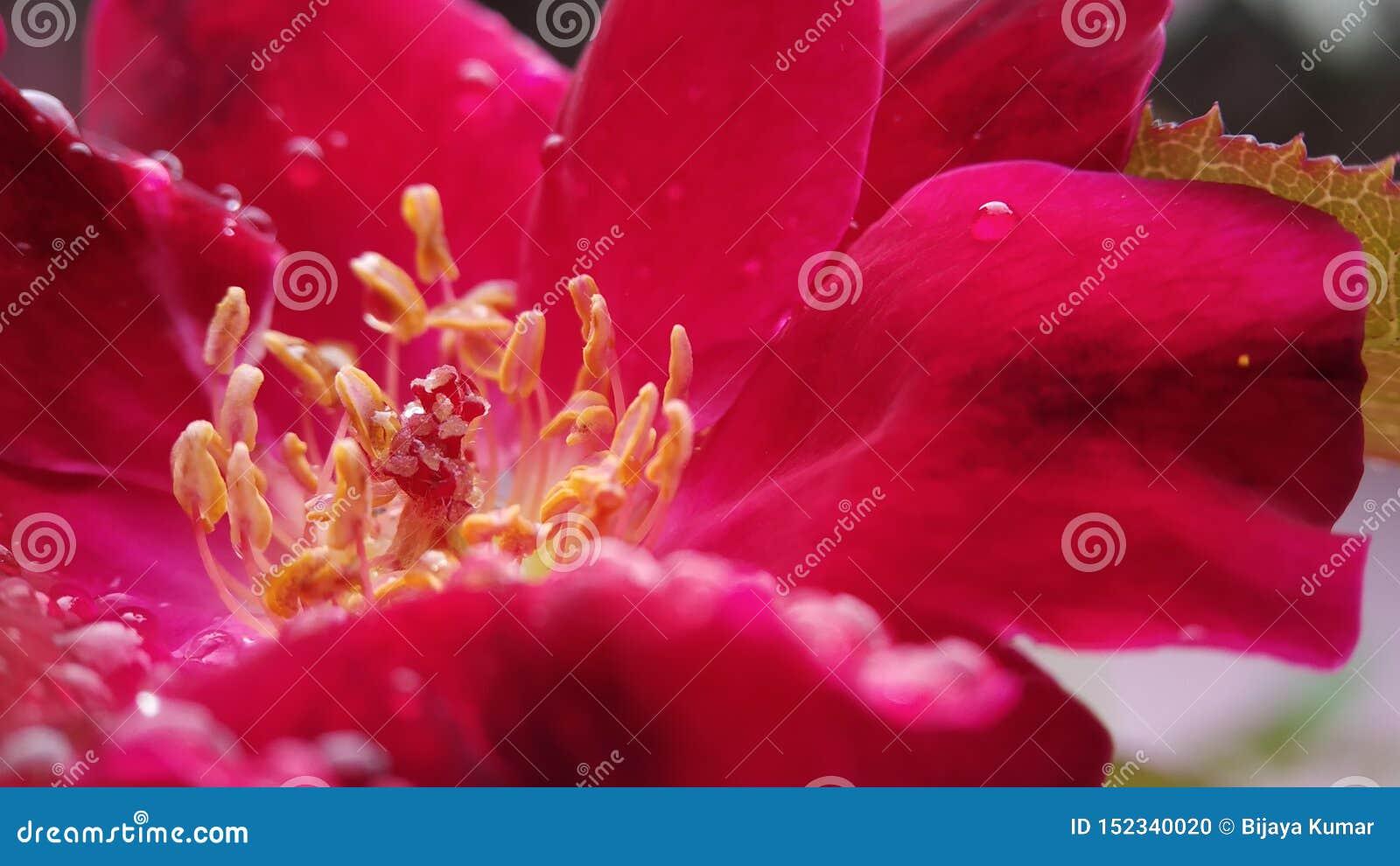 O tiro macro da antera e do estigma da flor de Rosa focalizou claramente