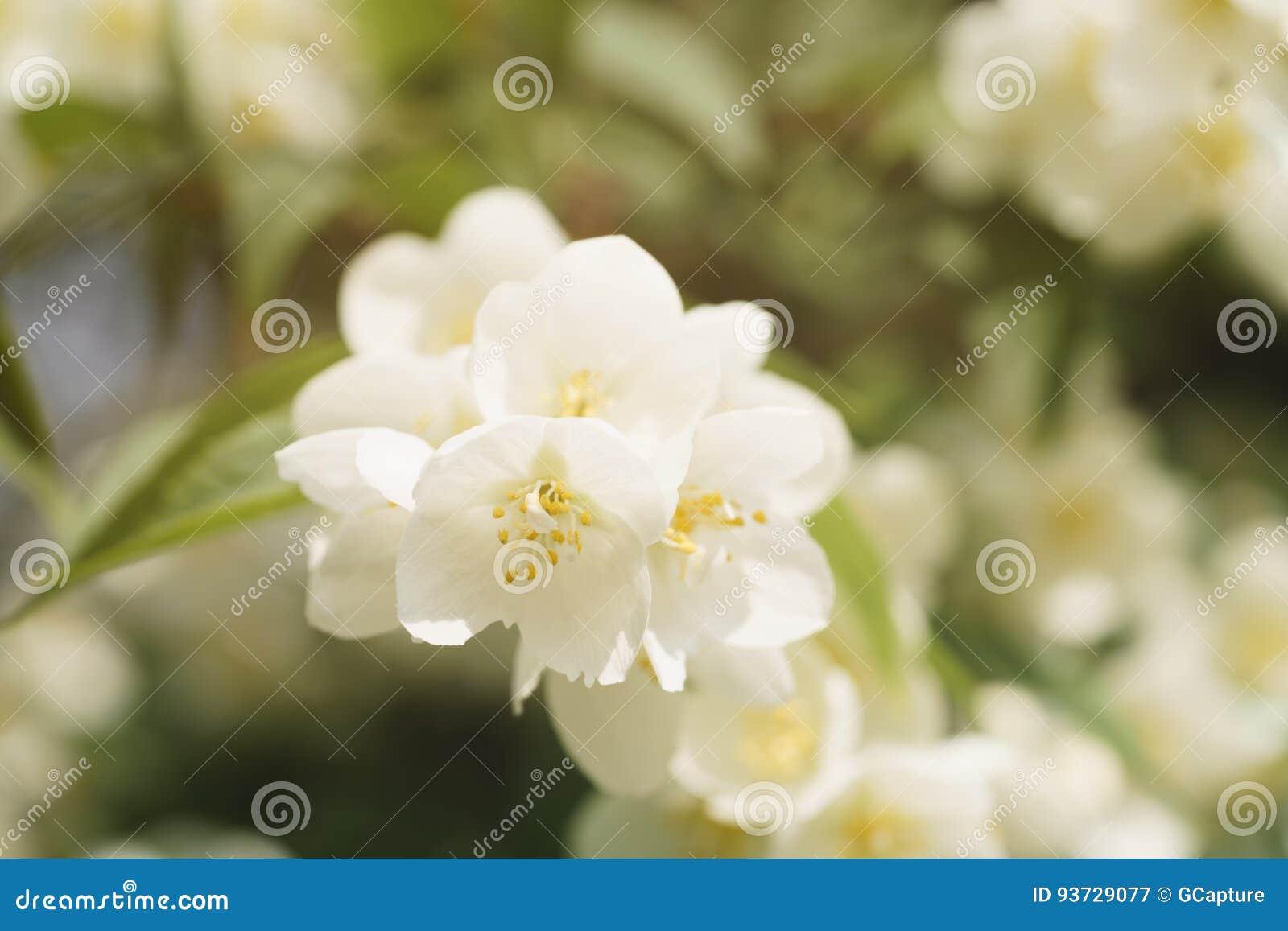 O tiro macro do jasmim floresce a florescência no dia de verão ensolarado