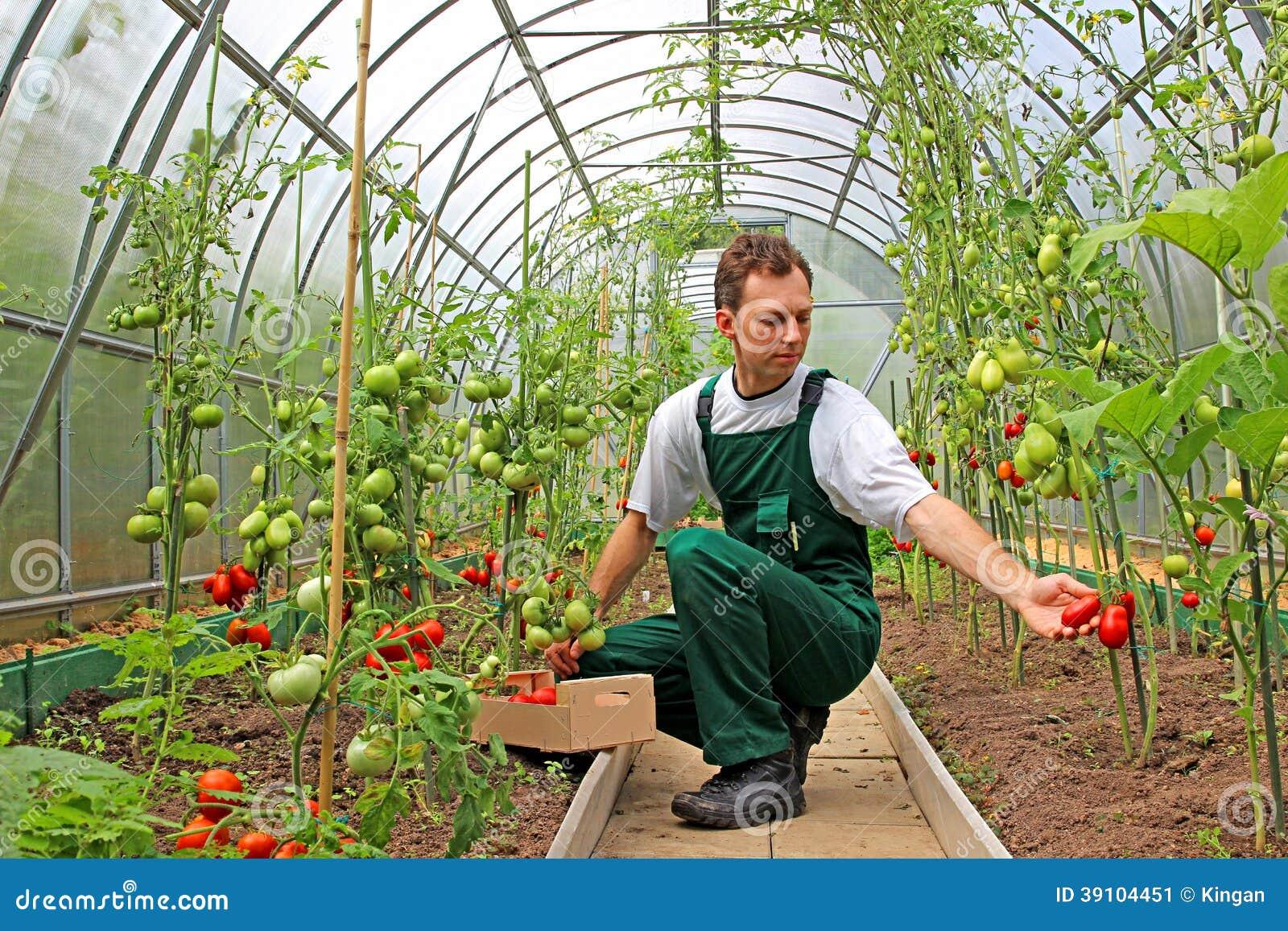 O trabalhador colhe tomates na estufa foto de stock - Foto estufa ...