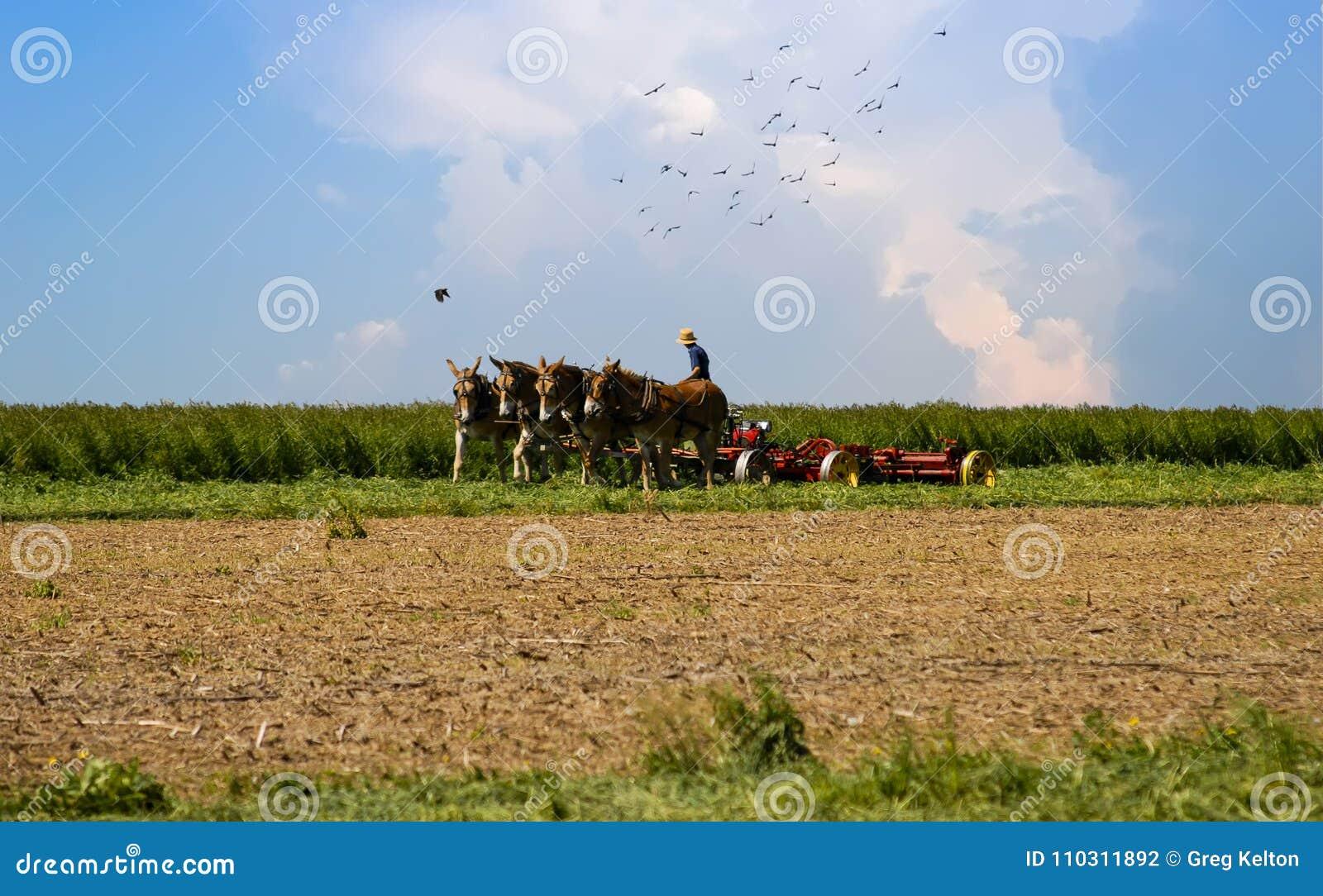 O trabalhador de Amish que colhe sua colheita multa pássaros