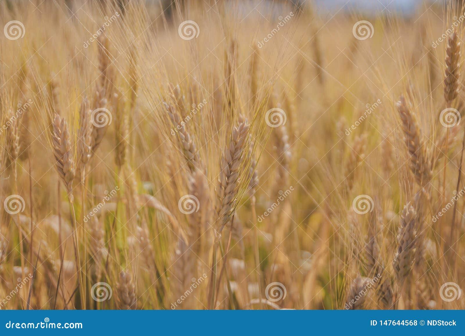 O trigo do close up arquivou