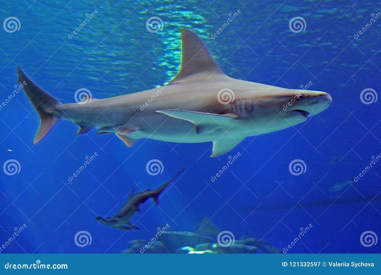 O tubarão azul cinzento e o tubarão martelam sob a água no mar Vista da parte inferior