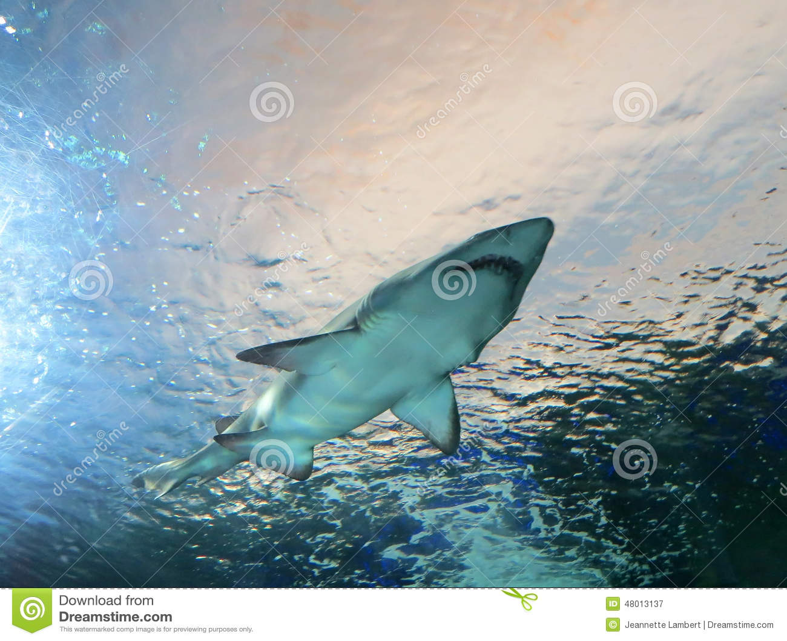 O tubarão passa em cima na água azul