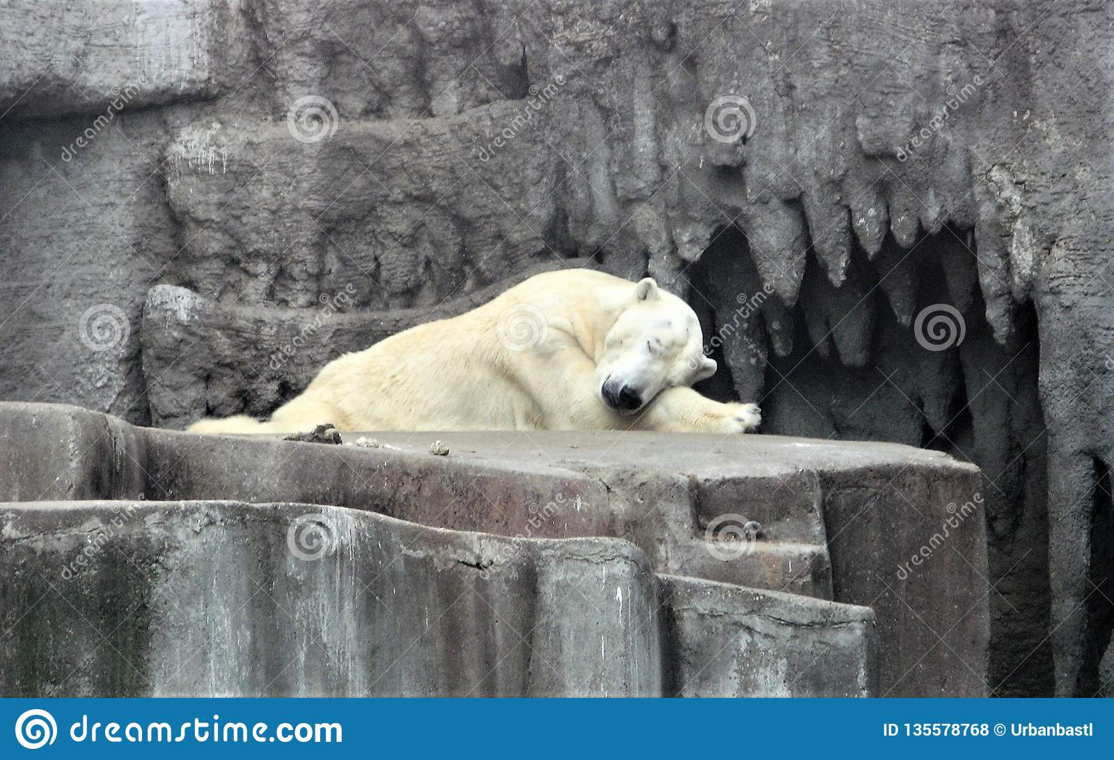 O urso polar dorme em um jardim zoológico
