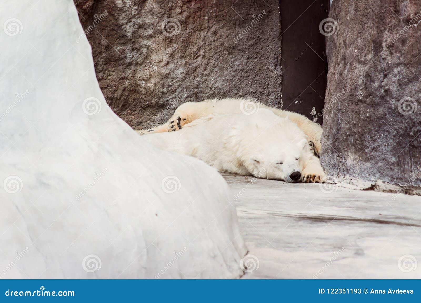 O urso polar está dormindo