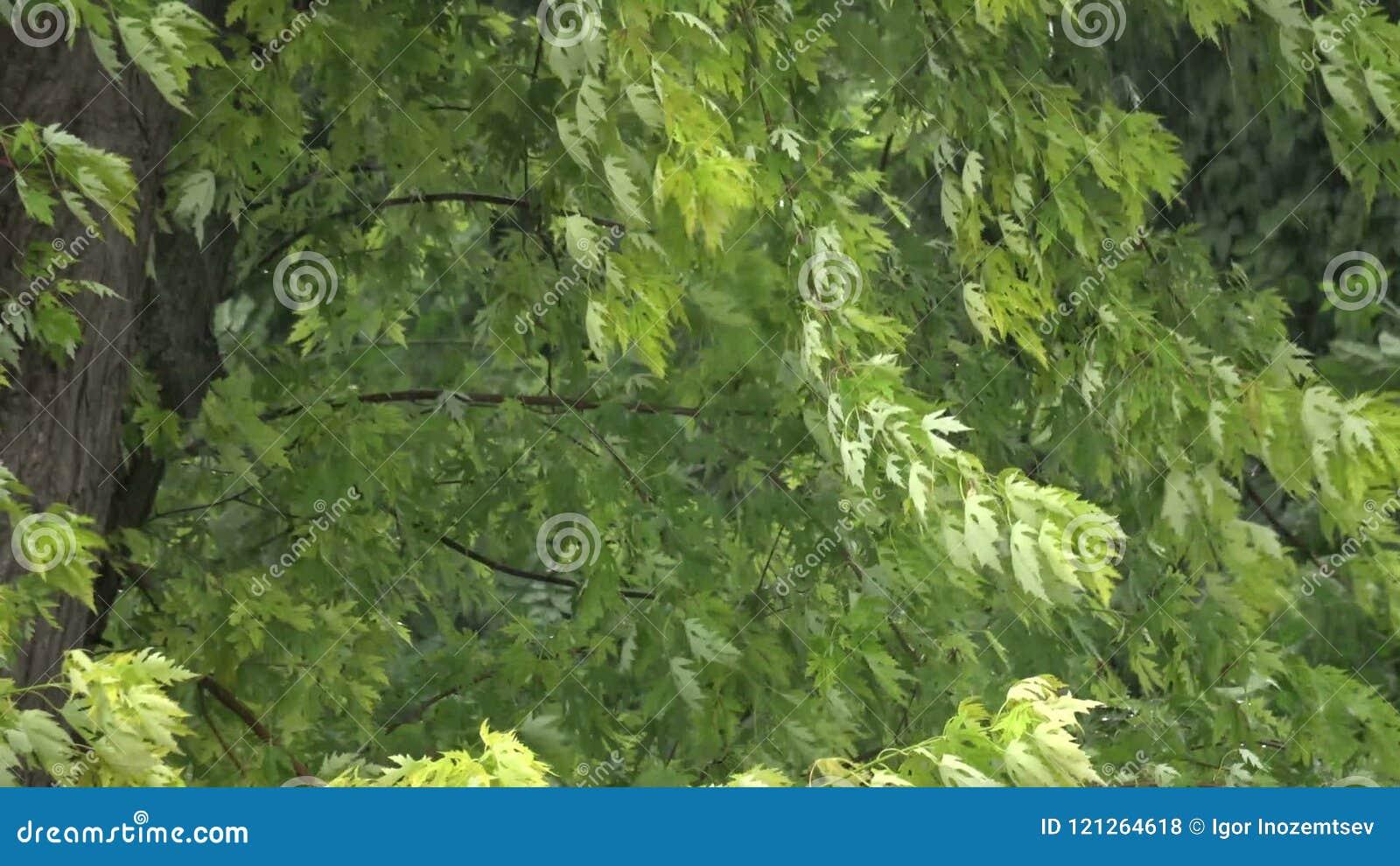 O vento está agitando as folhas das árvores durante uma chuva pesada video estoque