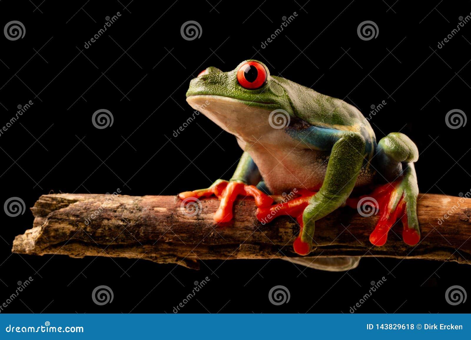 O vermelho eyed a r? de ?rvore na noite em um galho na floresta tropical de Costa Rica