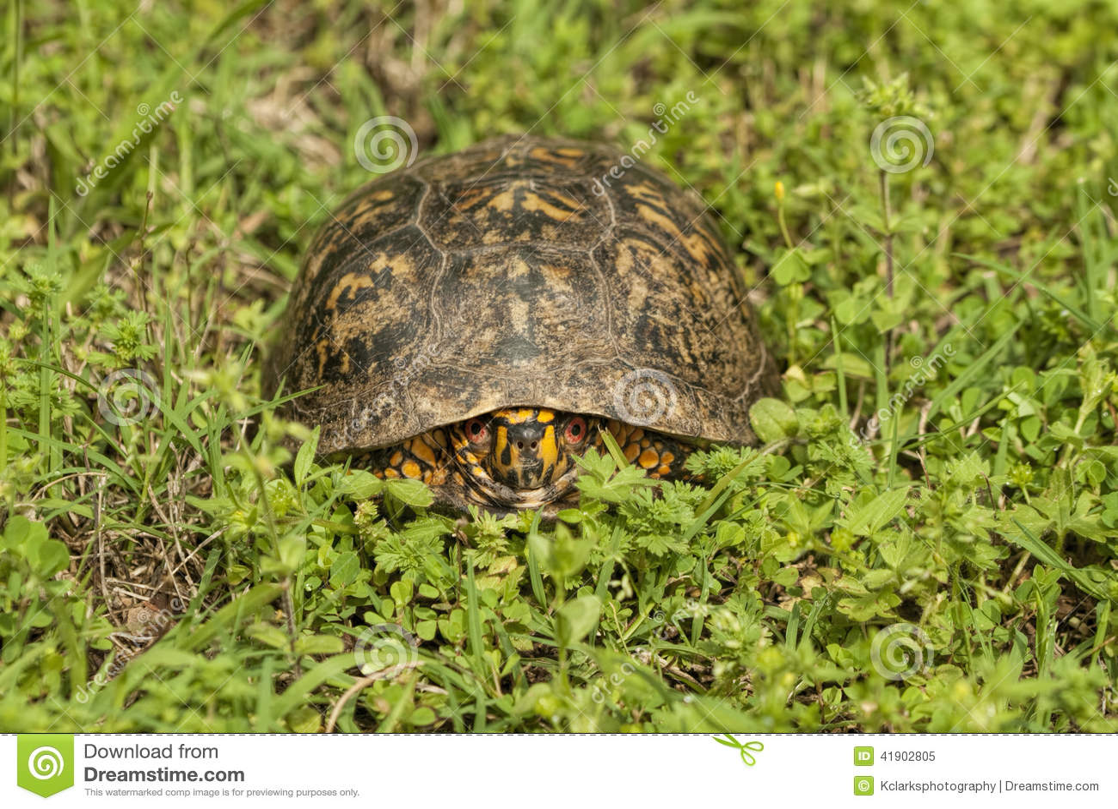 O vermelho masculino Eyed a tartaruga de caixa - Terrapene carolina
