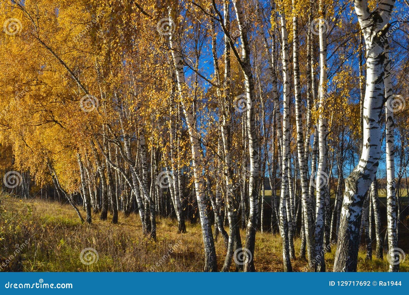 O vidoeiro dourado sae no fundo vibrante do céu azul no outono