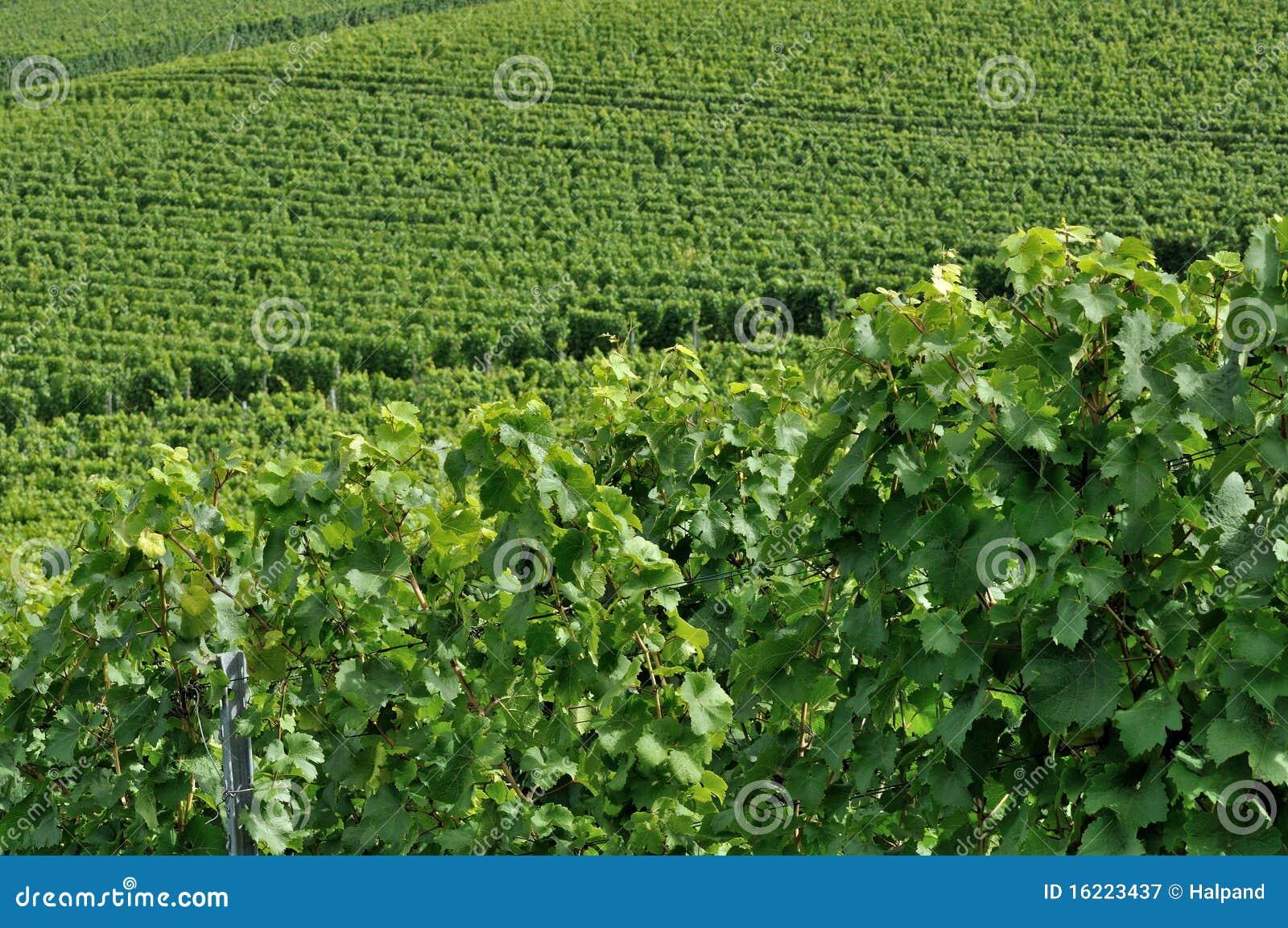 O vinhedo montanhoso #4, baden