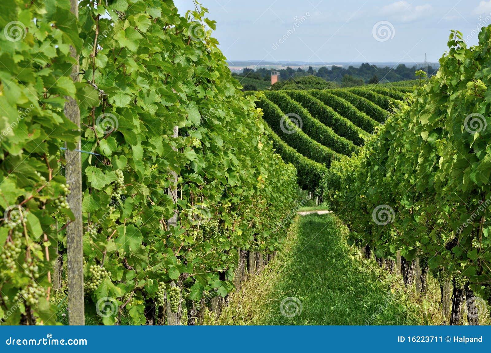 O vinhedo montanhoso #8, baden