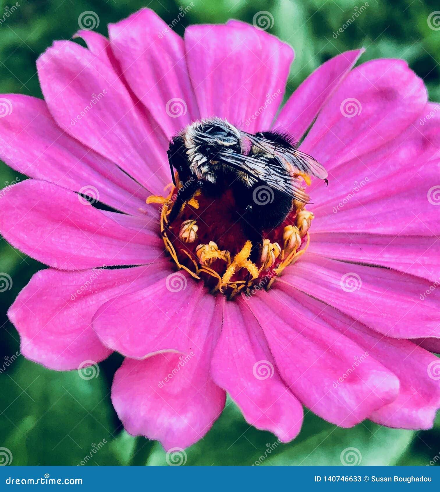 O Zinnia cor-de-rosa com tropeça a abelha