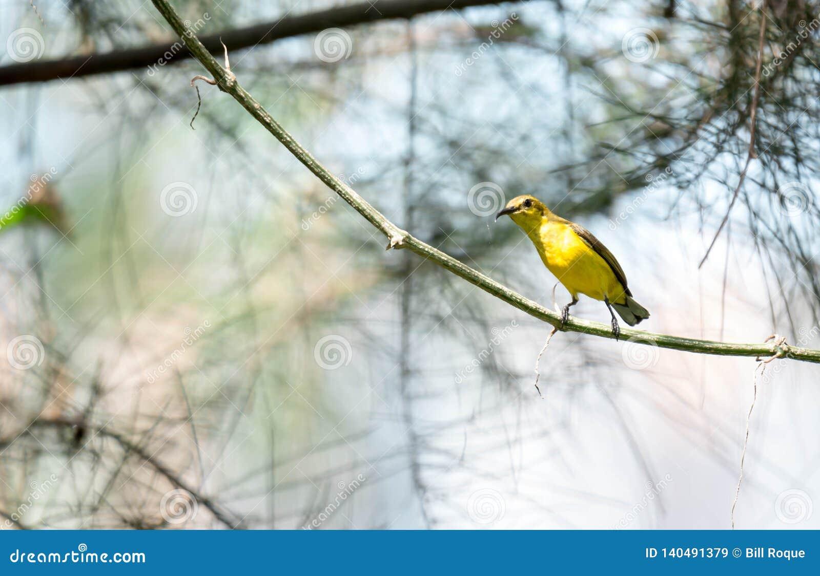 O zumbido disparou de um colibri ao descansar na haste da árvore que procura o alimento da flor