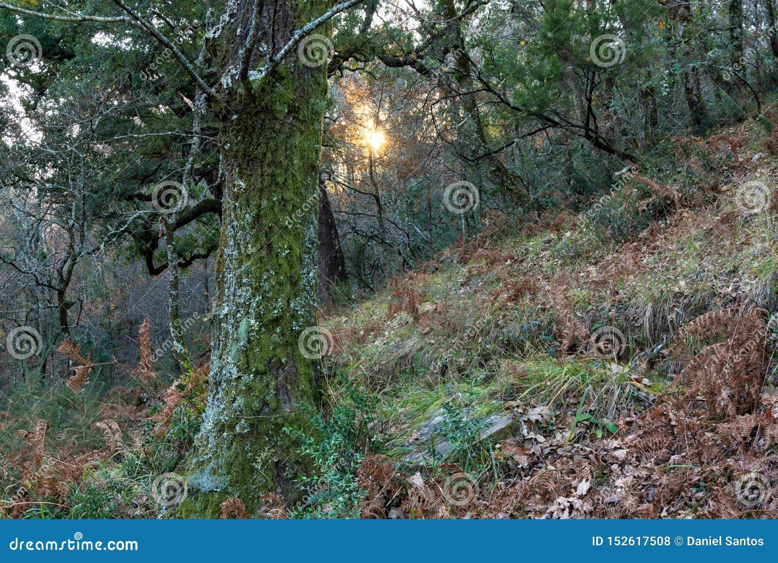 Oak forest with sun peeking through the vegetation
