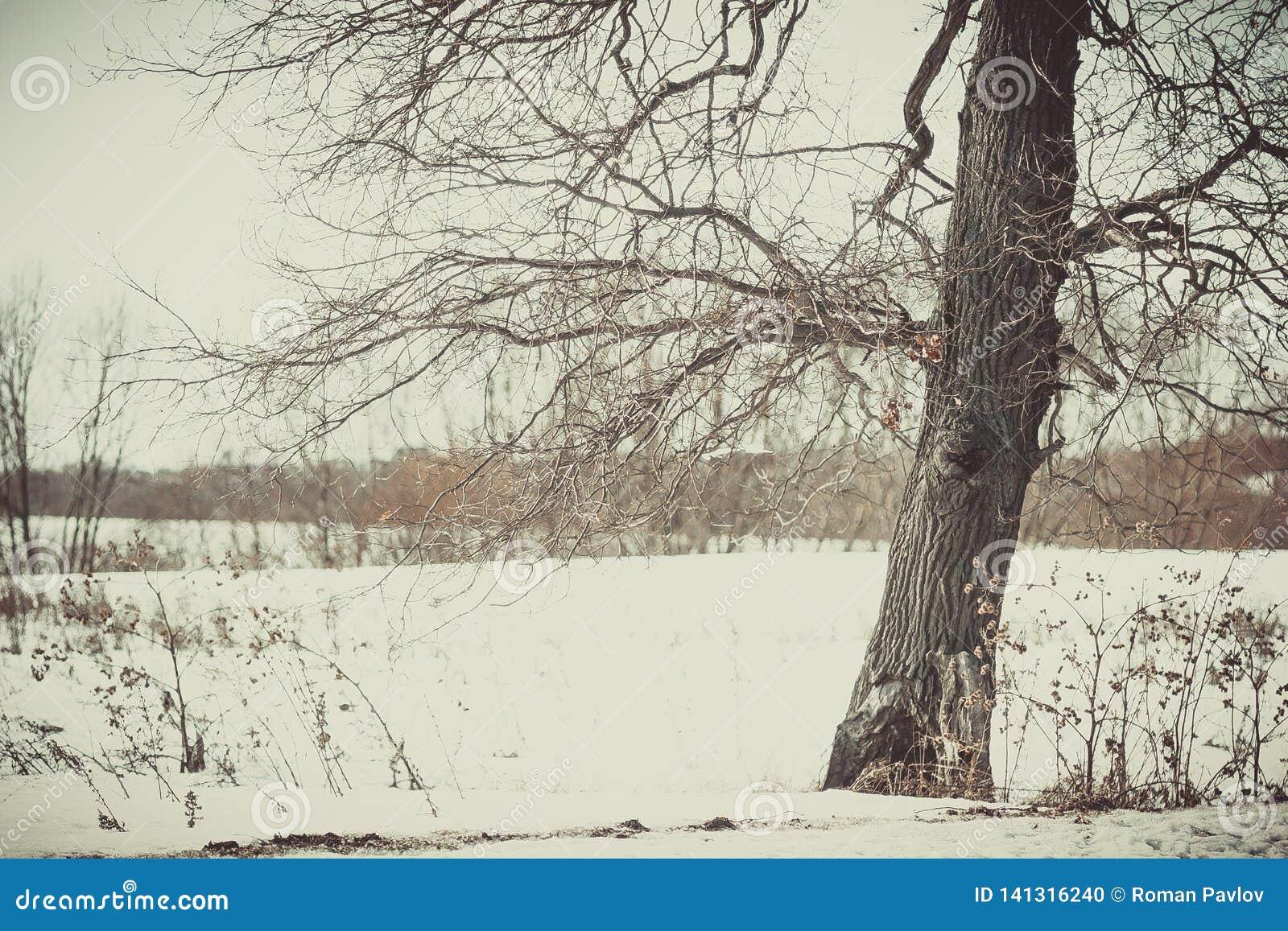 Oak grove in the winter white forest