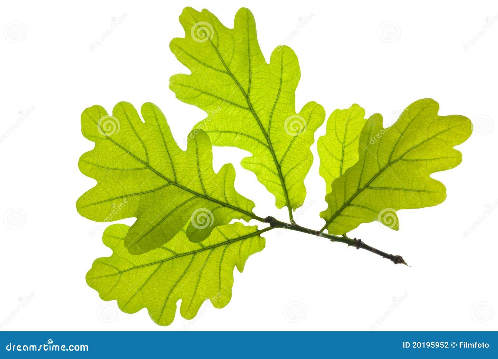 Oak Leaf Stock Photography Image 20195952