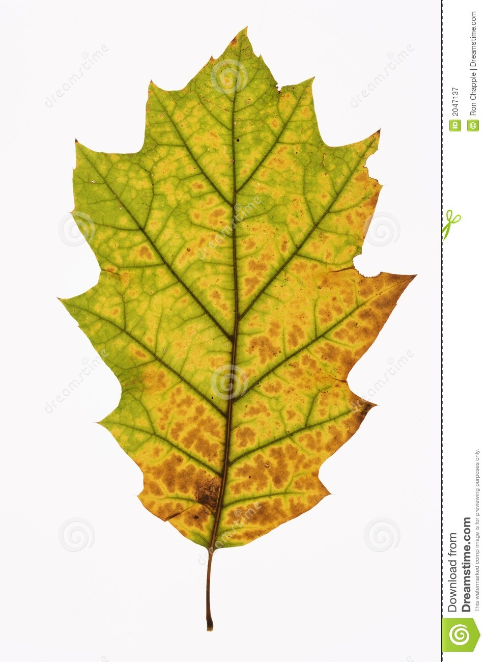 Oak Leaf On White. Royalty Free Stock Photography - Image ...