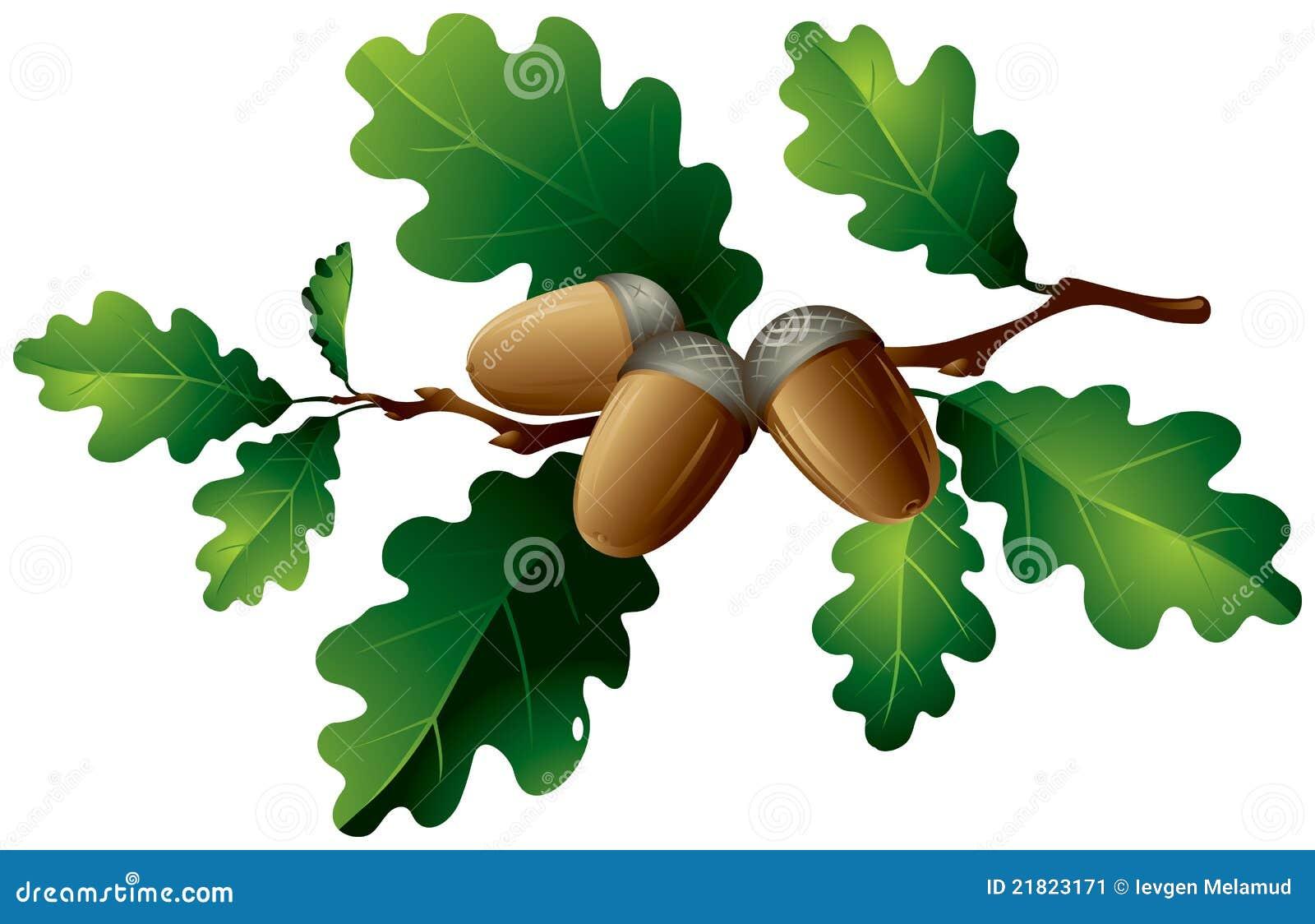 Oak Leaf And Acorn Drawing Oak leaves and acorns Stock