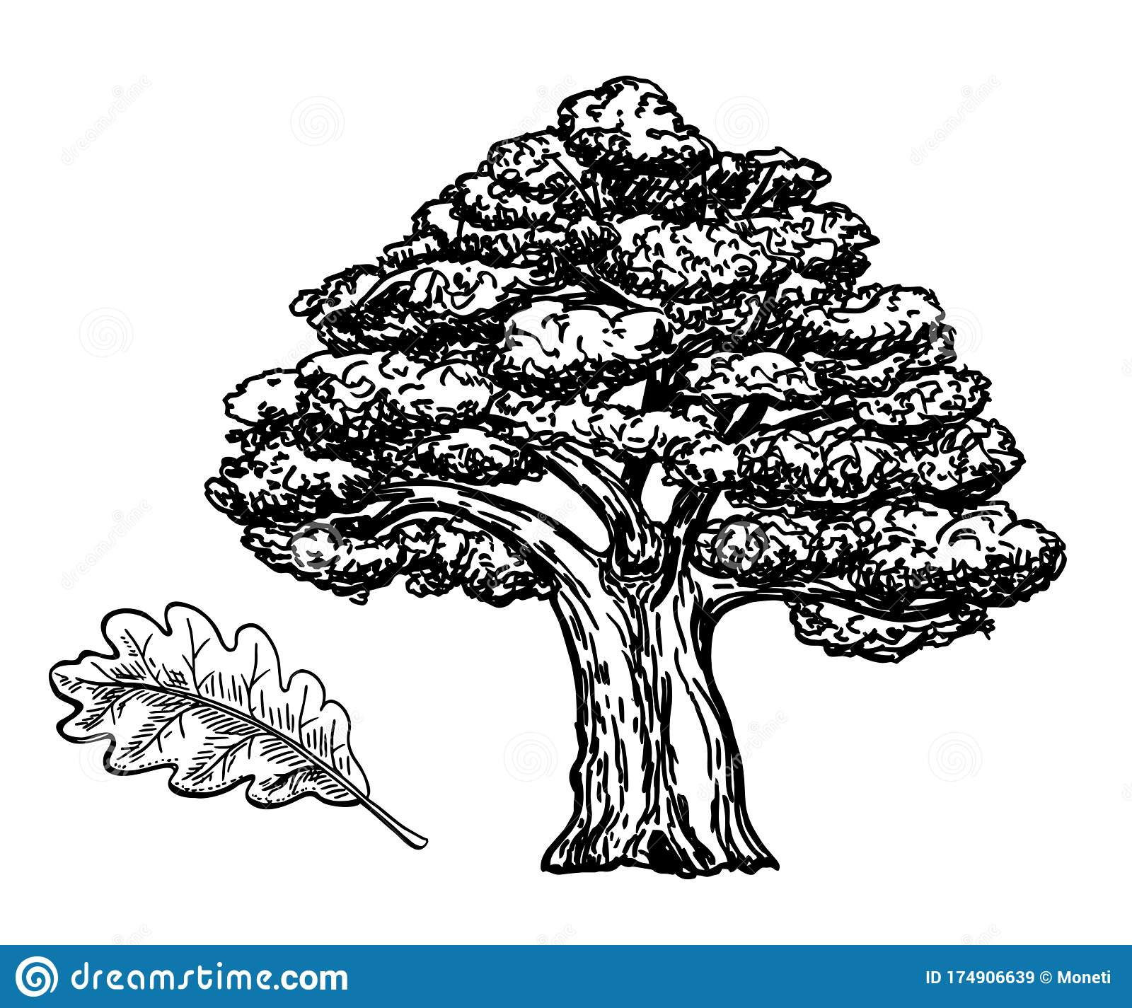 Oak Sketch Vintage Tree Sketch Illustration Vector Hand Drawn Illustration Of Big Tree Isolated On White Background Stock Vector Illustration Of Outdoor Forest 174906639