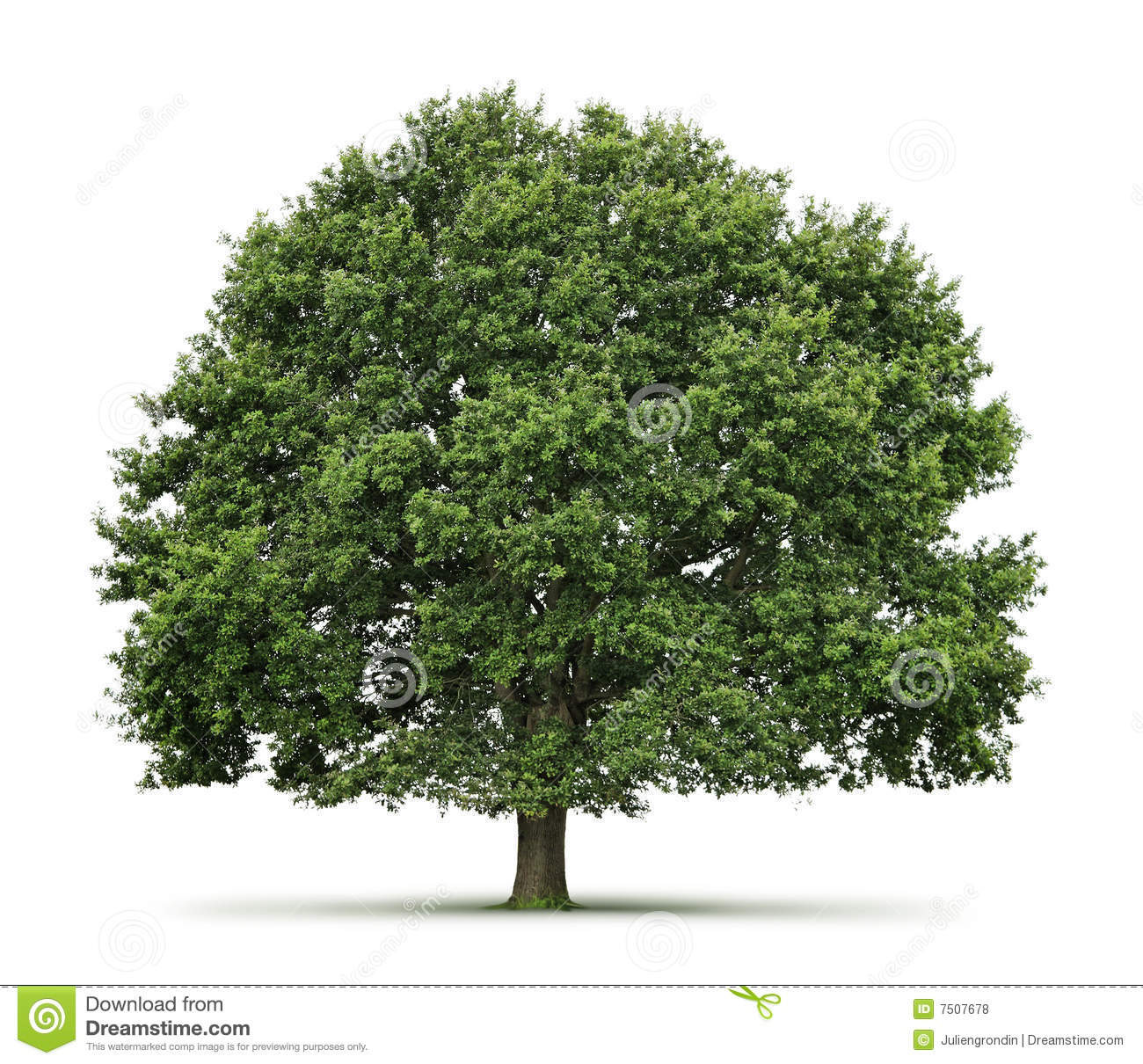 Tree Stock Photos Royalty Free Pictures