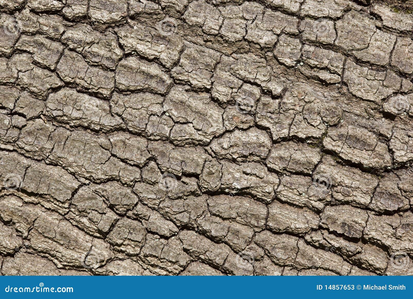 Oak tree bark
