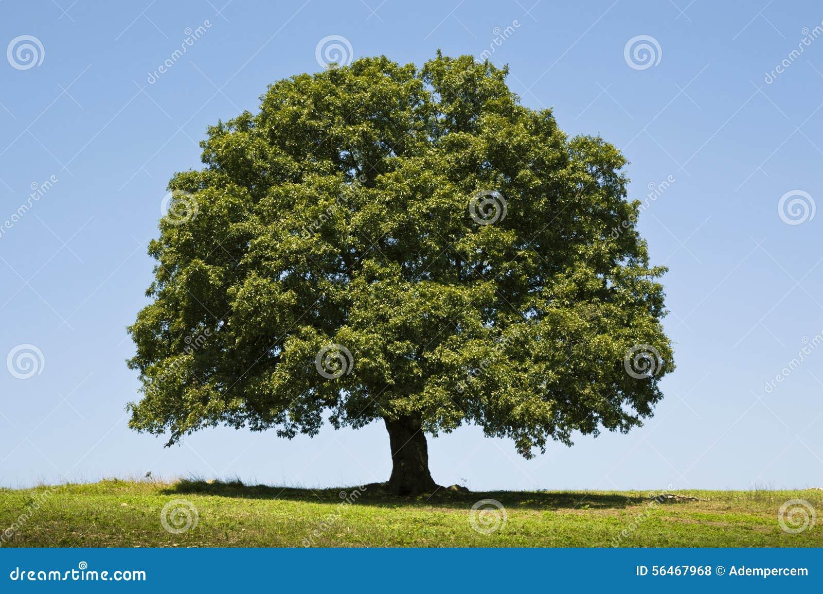 Oak Tree stock photo. Image of outdoor, landscape, plant ...