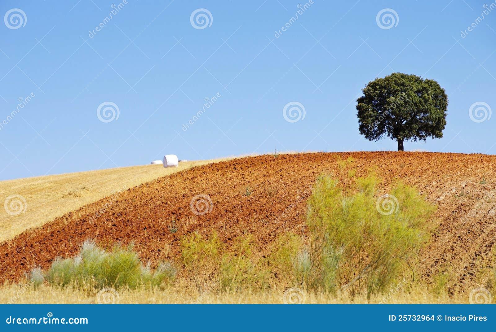 Oak tree in a field , Alentejo