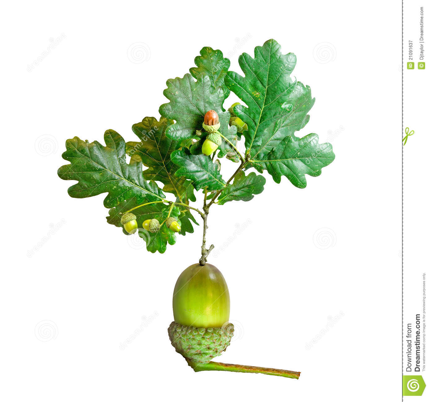 Oak tree growing from acorn royalty free stock photography image