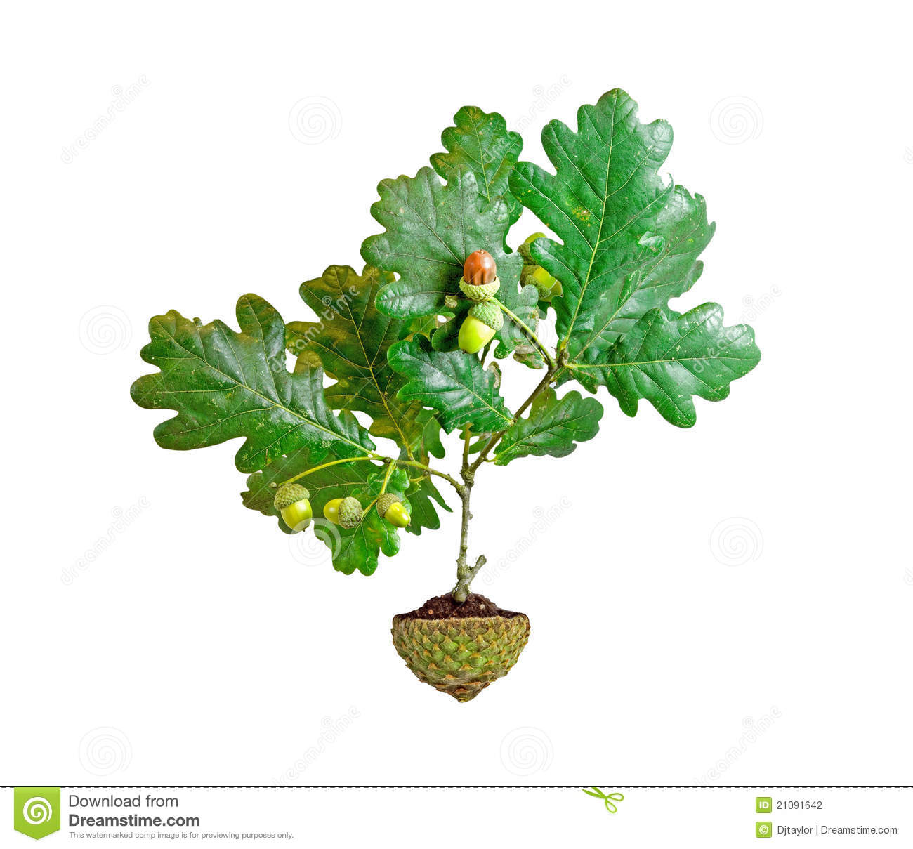 Planting An Oak Tree Best Time : Oak tree growing from soil in acorn cup stock photography image