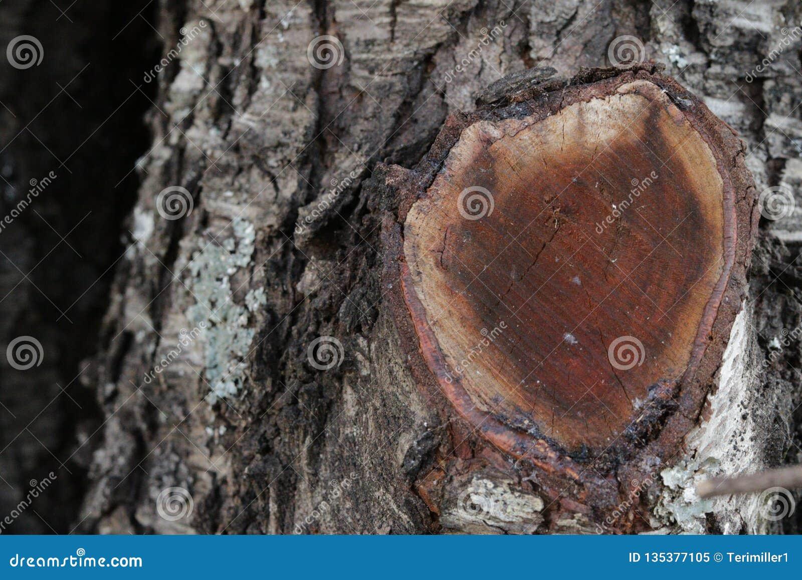 Oak tree rough bark with a cut limb.