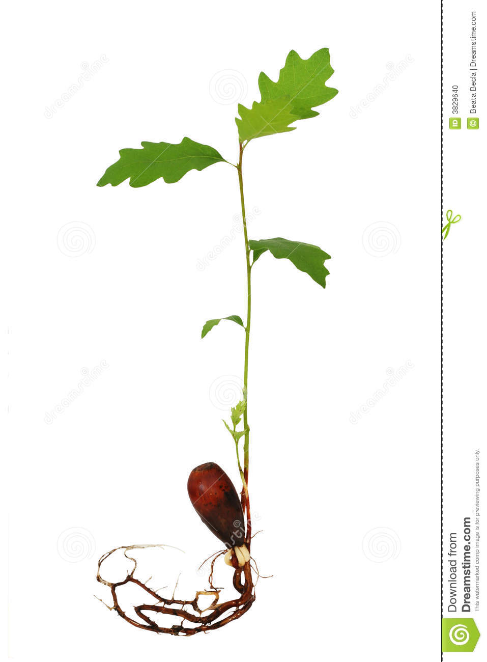 Oak tree seedling with roots stock photo image of sprout for Tree sapling