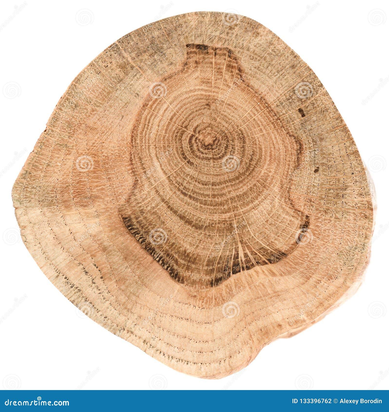 Oak tree slice texture. Irregular shape wood slab with annual ri