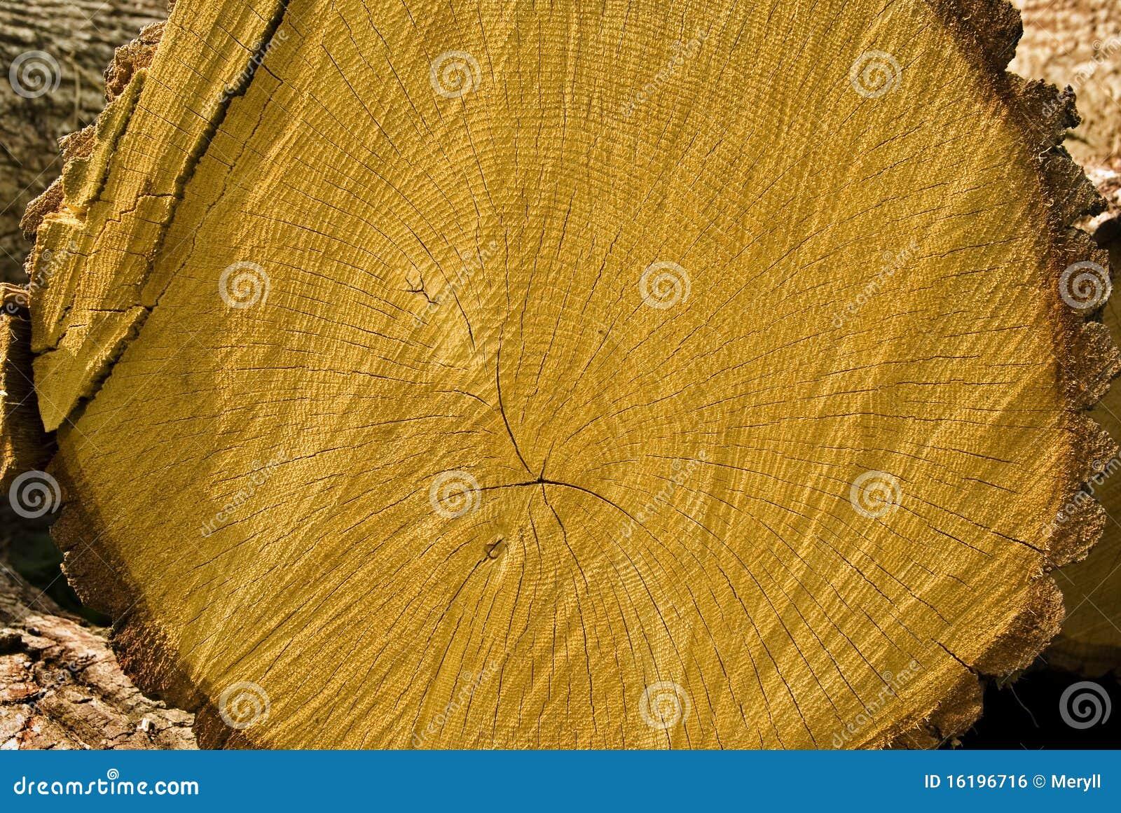 Oak tree wood royalty free stock image