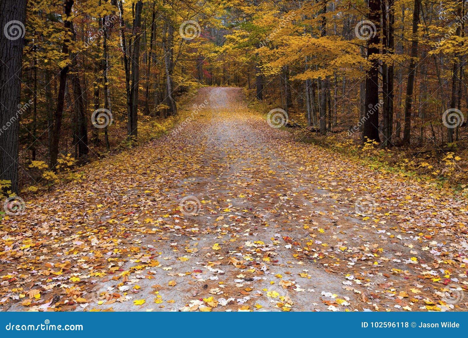 Fall colours in Ontario Canada giant oak trees