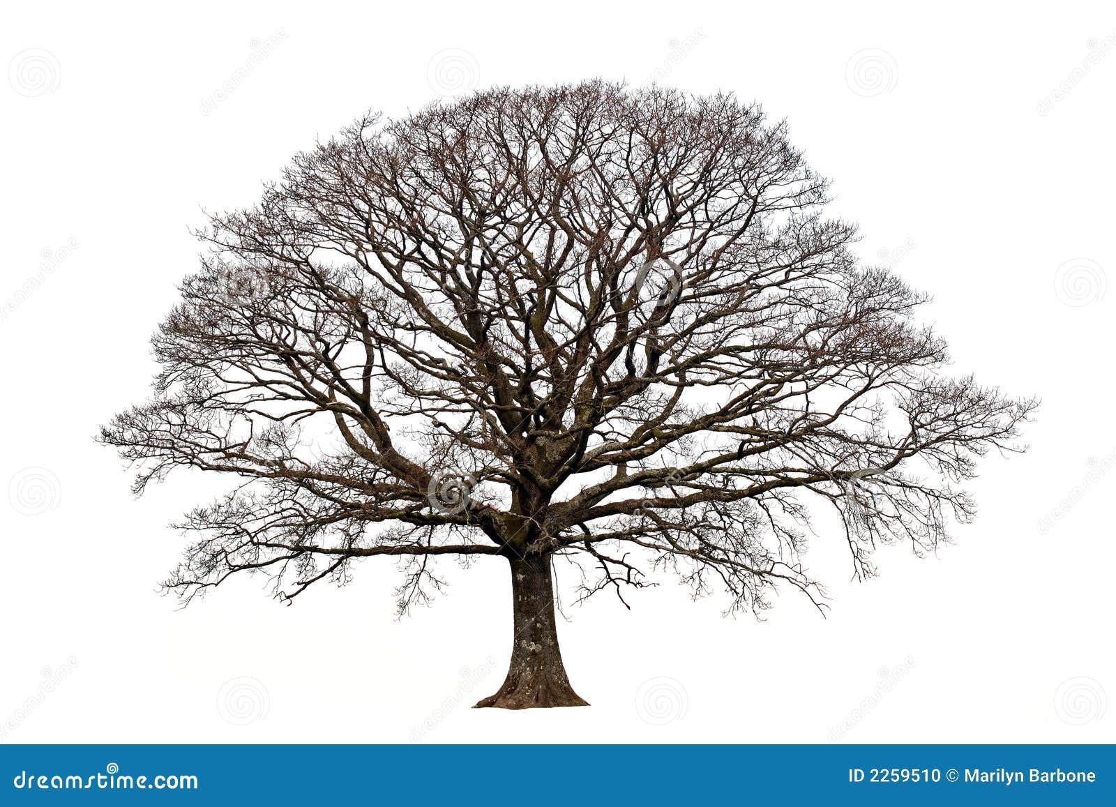 Oak Tree Symbolism Oak...
