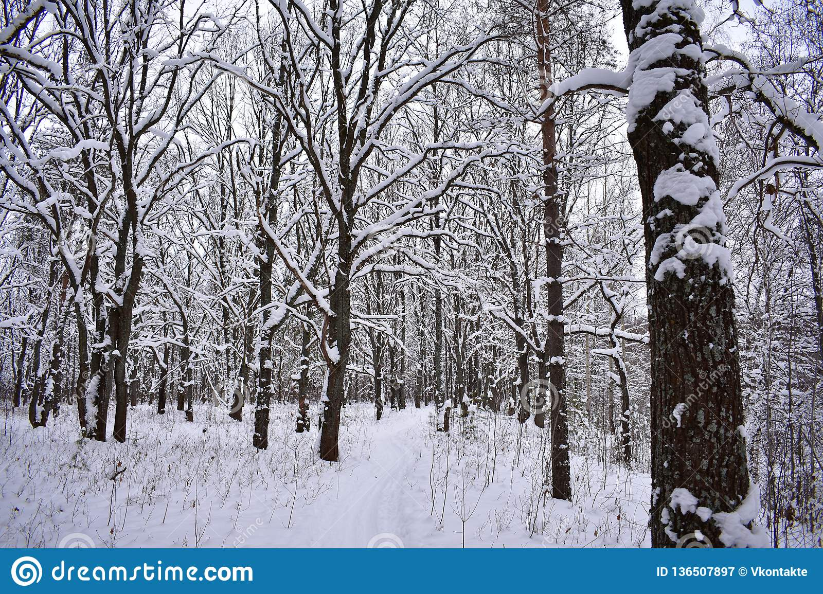 Oak winter forest stands in a thoughtful stupor, calm and peaceful