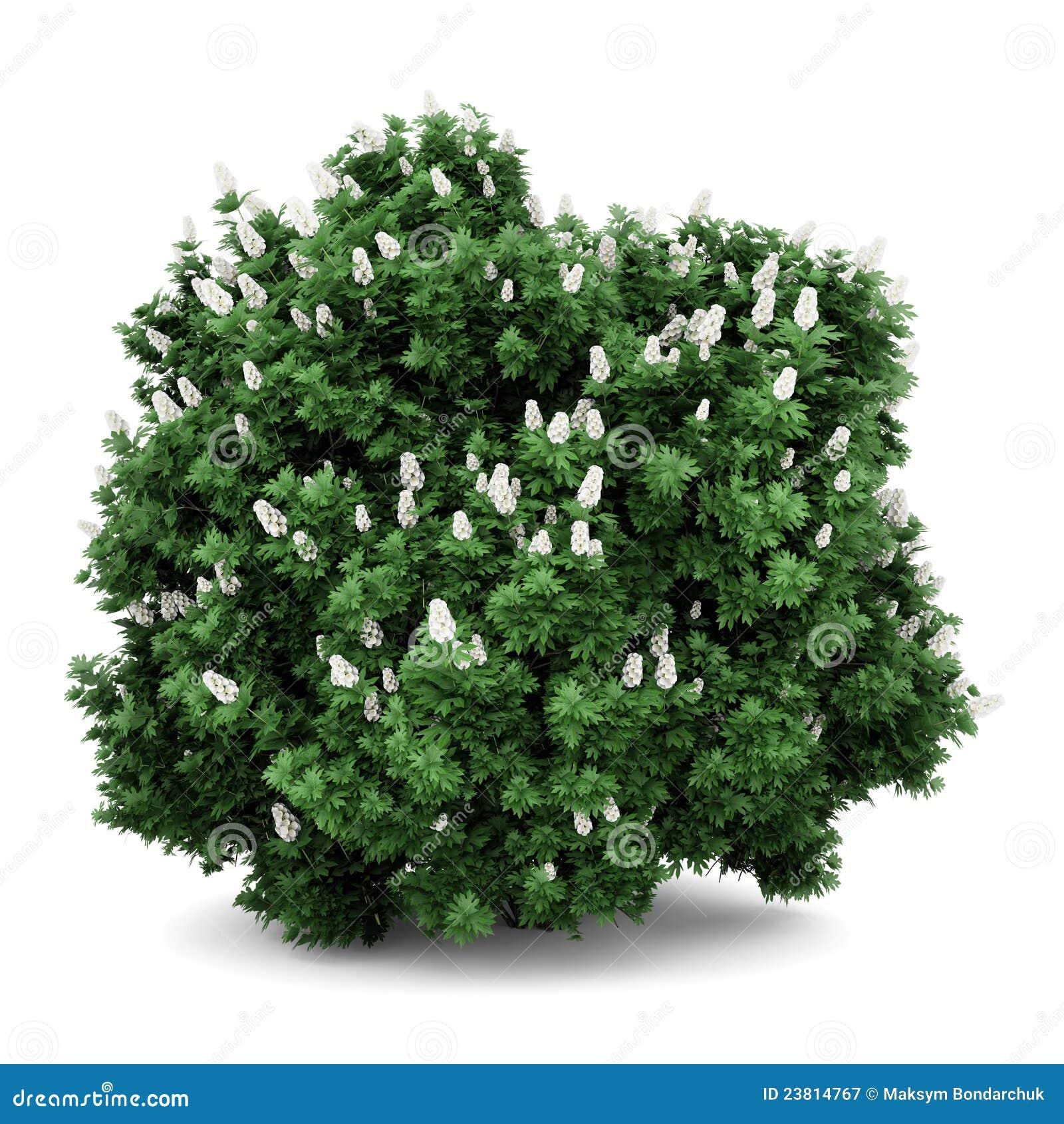 Oakleaf Hydrangea Bush Isolated On White Stock