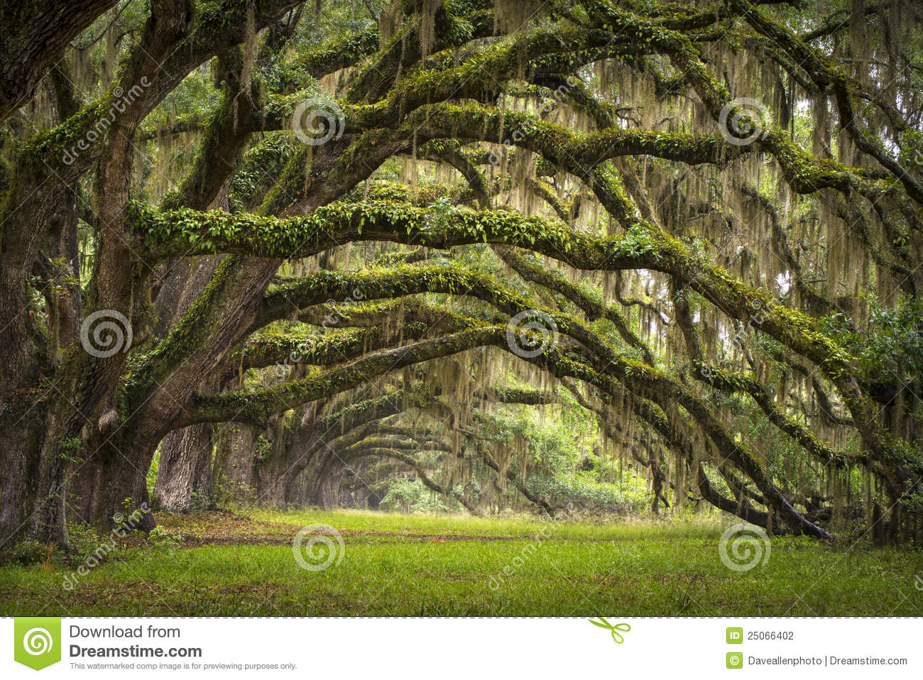 Oaks Avenue Charleston SC Plantation Live Oak Tree