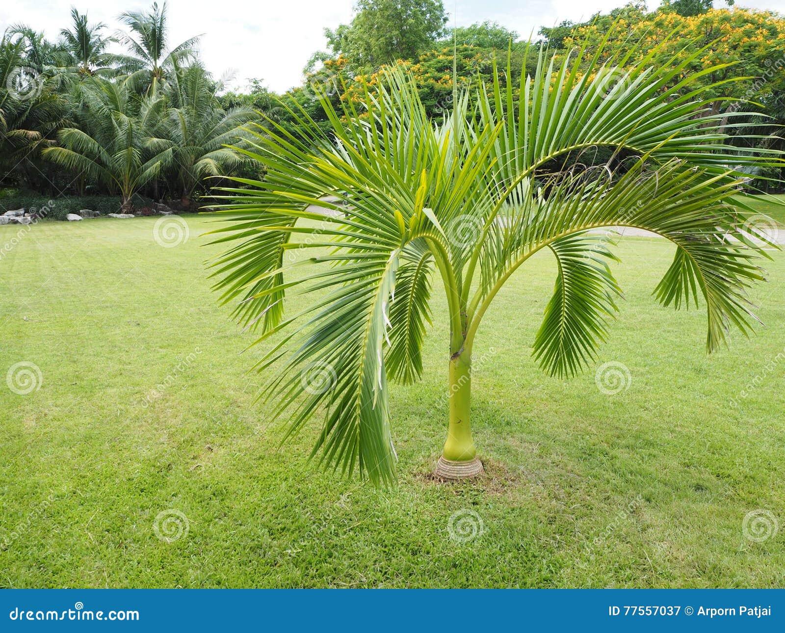 prezzi di palme da giardino vendita palme online mondo
