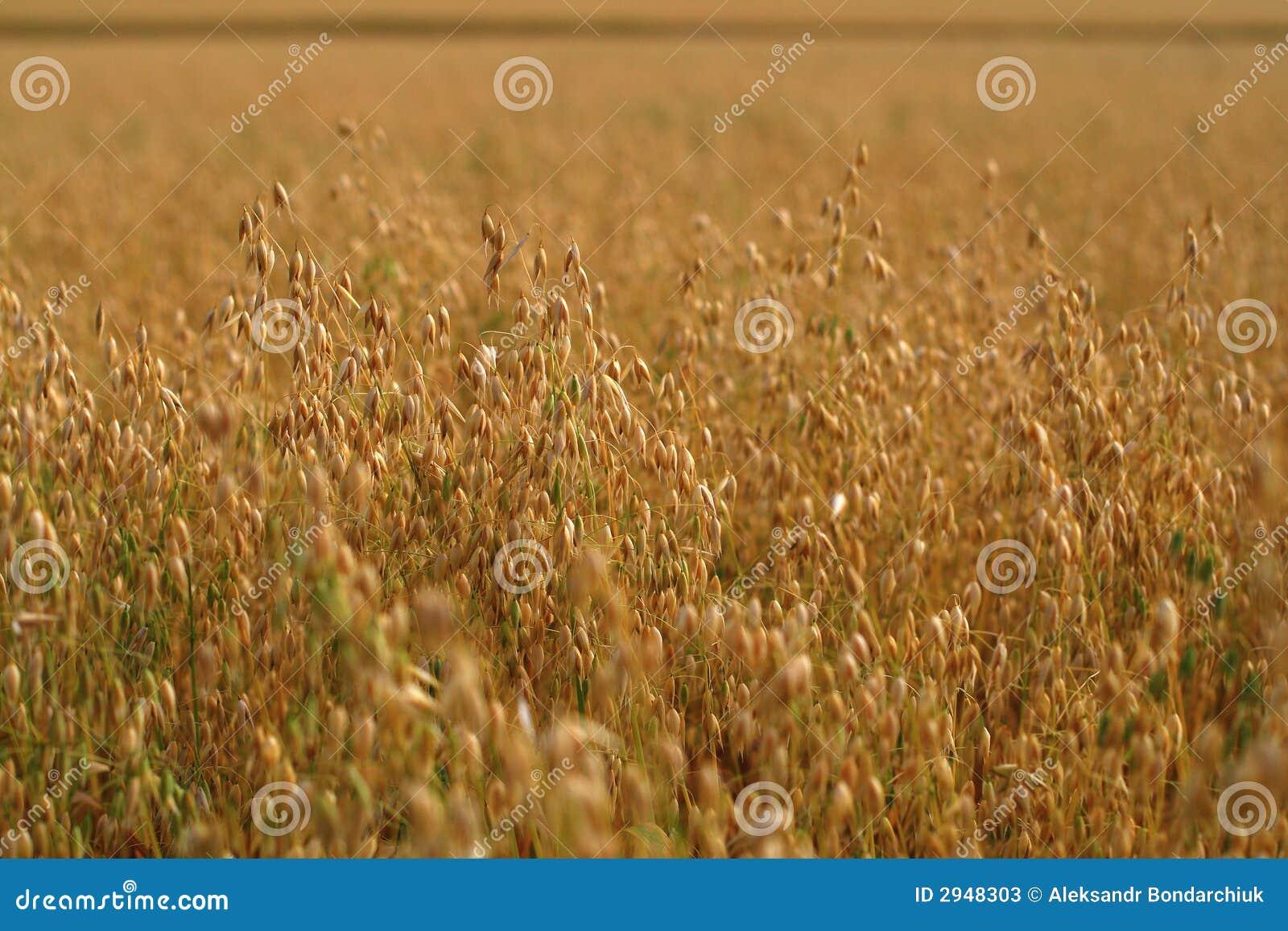 Oat Crops Field