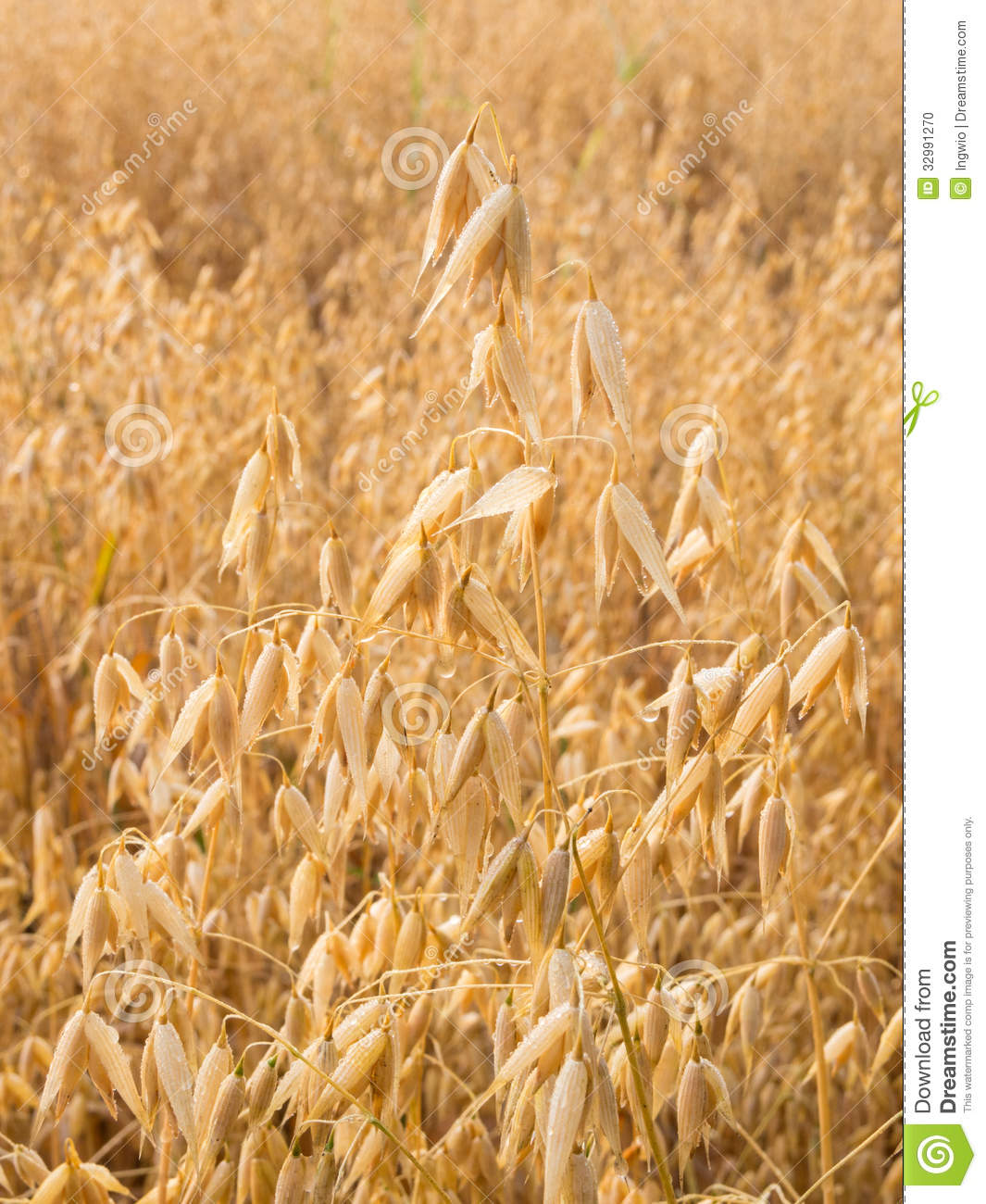 Oat Plant With Morning Dew Stock Photo - Image: 32991270