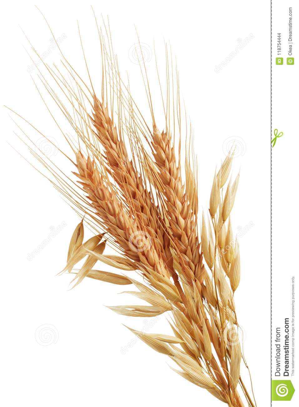 Download Oat plants and wheat ears stock photo. Image of plant - 118754444