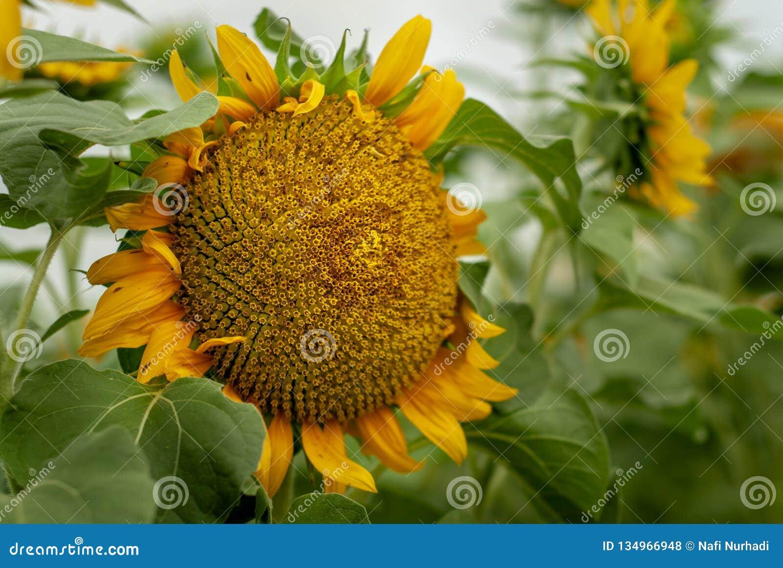 Oavkortad blom för ljusa gula solrosor