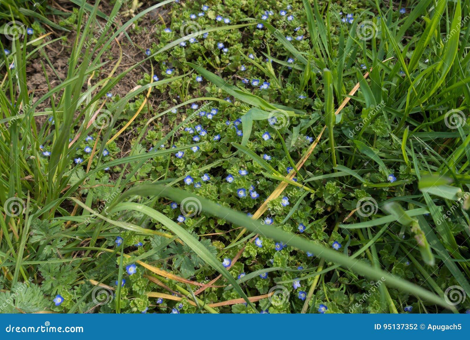 Oavkortad blom för Veronica i högväxt gräs