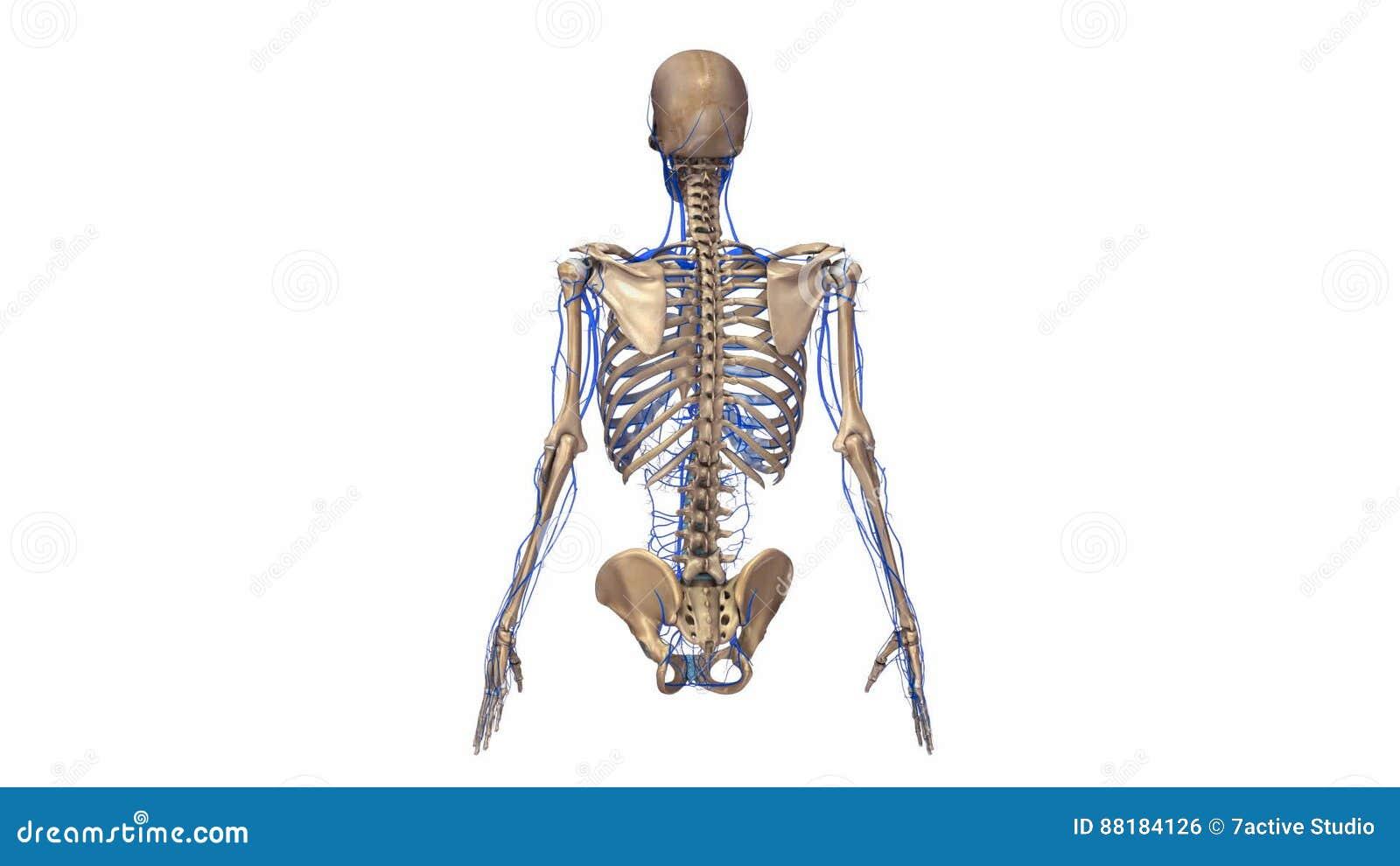 Beste Bilder Von Organsystemen Im Körper Bilder - Menschliche ...
