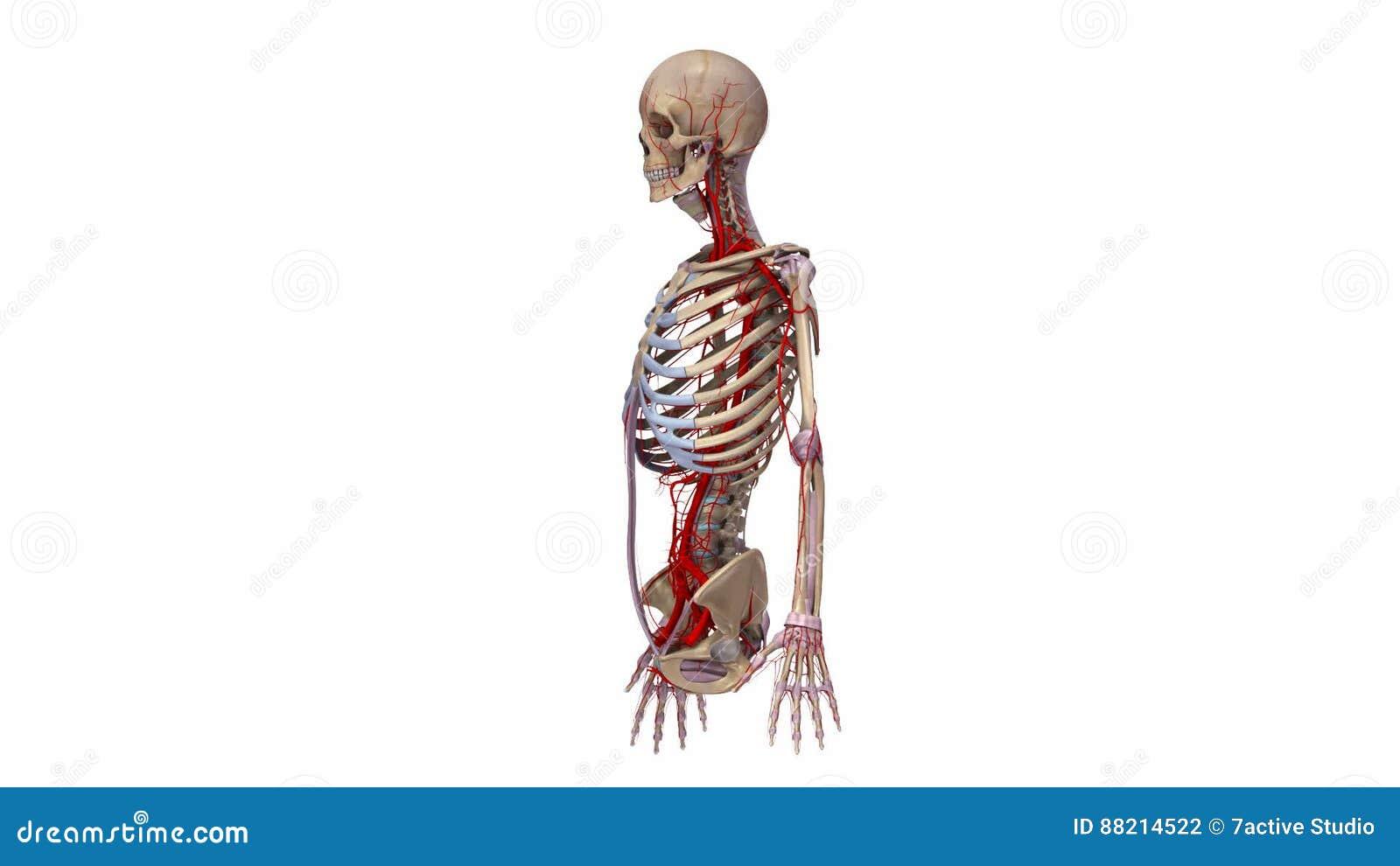 Berühmt Arterielle Anatomie Ideen - Anatomie Ideen - finotti.info